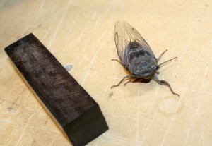 Live model for carving a Cicada